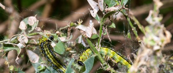 Buchsbaumzünsler – befallene Bäume nicht über die Biotonne entsorgen!